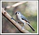 Tufted Titmouse by Mike D90 in Birds
