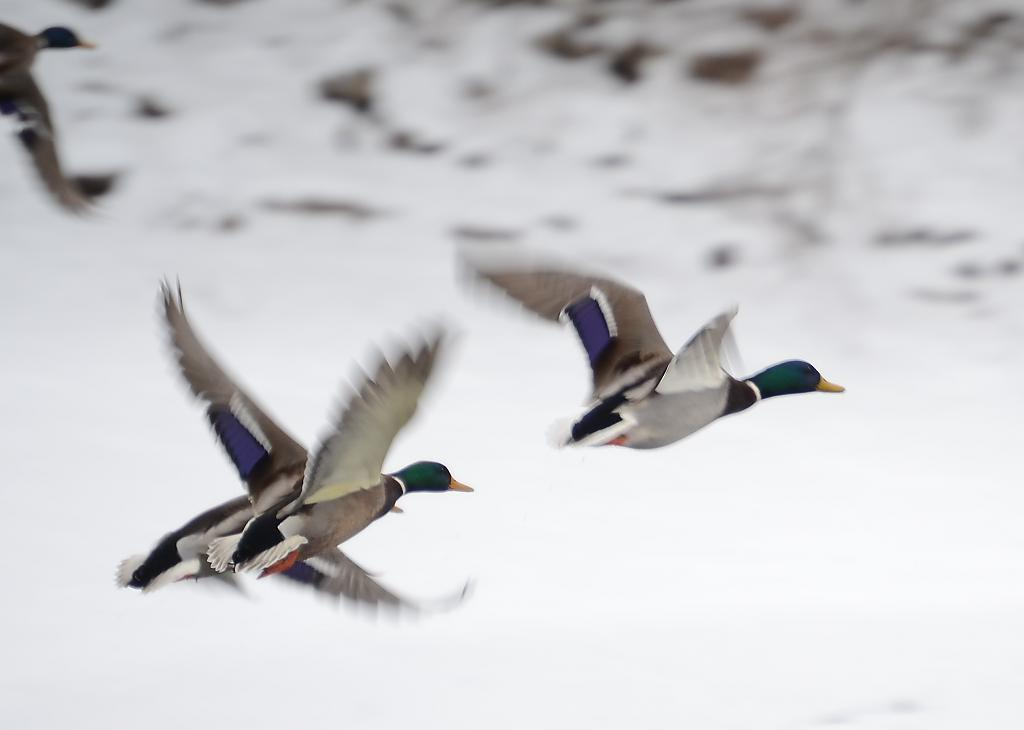 Mallards inflight by weebee in Member Albums