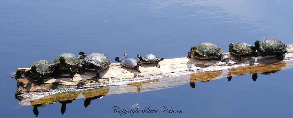 Turtles by weebee in Member Albums
