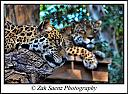 Leopards by ZakSaenzPhotography in Member Albums