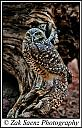 Burrowing Owl by ZakSaenzPhotography in Member Albums