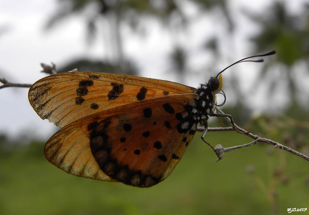 butterfly by pramod in Member Albums
