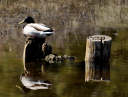 Duck on a stump by KWJams in Member Albums