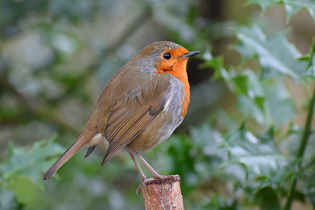 British Robin by JH Foto in Member Albums