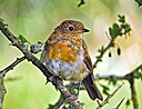 Juvenile Robin by JH Foto in Member Albums