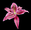 Study of a Lily by JH Foto in Member Albums