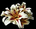 A bunch of Lilies by JH Foto in Member Albums