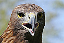 Portrait of a Golden Eagle by JH Foto in Member Albums