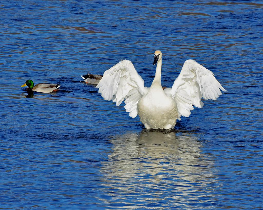 Trumpeter Swans and friends by eyespyed in Member Albums