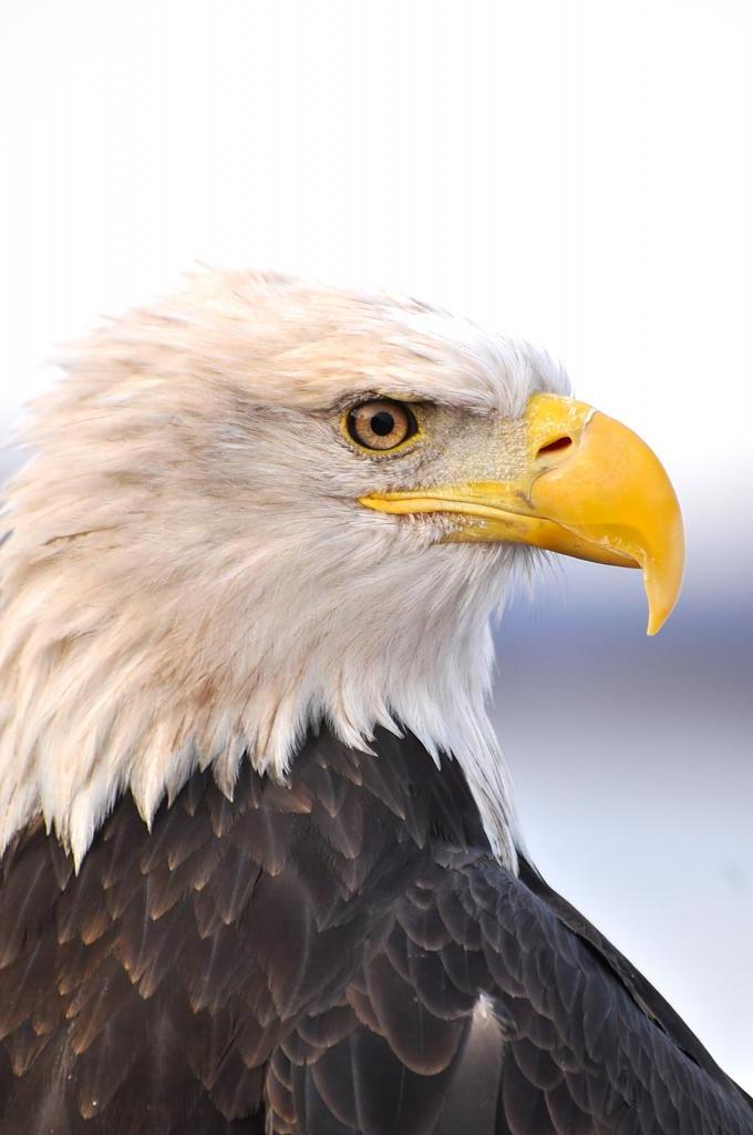 Majestic eagle by eyespyed in Member Albums