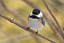 0316chickadee by TommysG in Member Albums