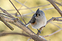 0323tuftedtitmouse by TommysG in Member Albums