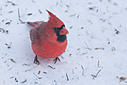 0340northerncardinal by TommysG in Member Albums