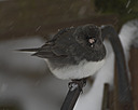 dark eyed junco by TommysG in Member Albums