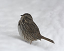 sparrow by TommysG in Member Albums