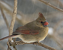 female cardinal by TommysG in Member Albums