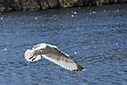 1069 seagull in flight by TommysG in Member Albums
