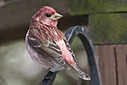 1435 finch by TommysG in Member Albums