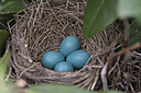 1573 robin eggs by TommysG in Member Albums