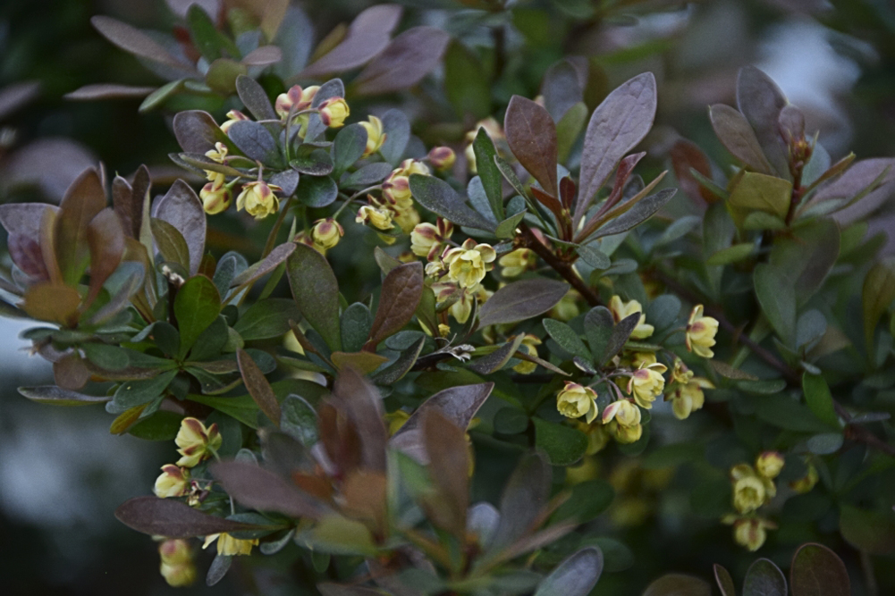 1633 bayberrybush flowers by TommysG in Member Albums