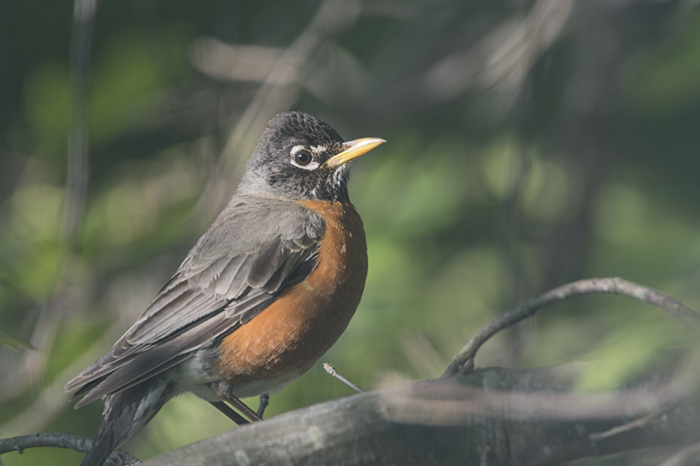 1730 momma robin by TommysG in Member Albums