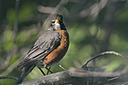 1733 momma robin by TommysG in Member Albums