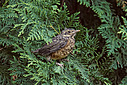 Baby Robin First Flight by TommysG in Member Albums