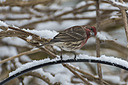 4150 house finch butt by TommysG in Member Albums