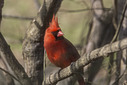 1382 cardinal by TommysG in Member Albums