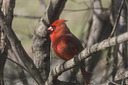 1396 cardinal by TommysG in Member Albums