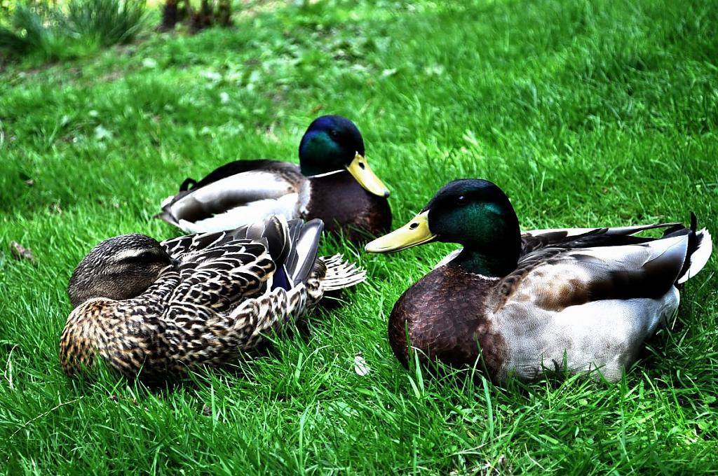 ducks by jdeg in Morris Arboretum