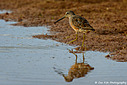 Long-billed Dowitcher by Cee Fish