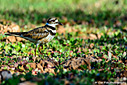 Killdeer by Cee Fish in Member Albums