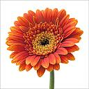 Gerbera by Fen in Flora