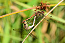 common darters by captain birdseye in Member Albums