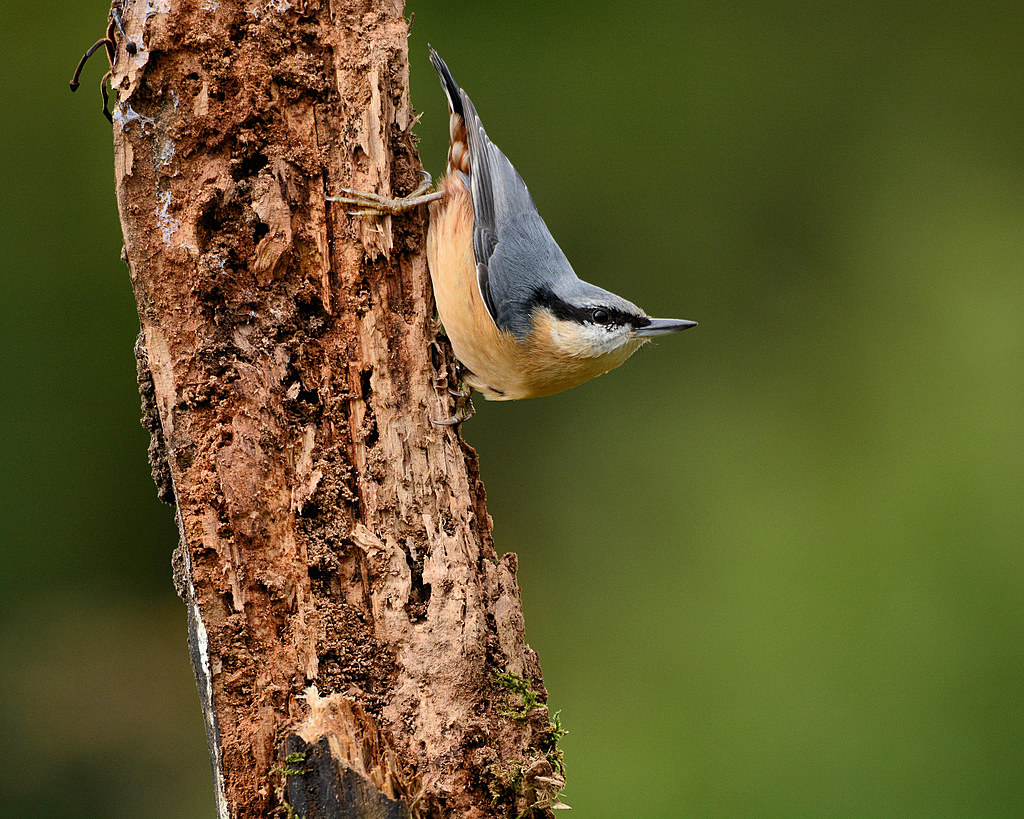 nuthatch by captain birdseye in Member Albums