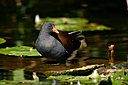 moorhen by captain birdseye in Member Albums