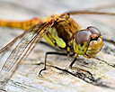 common darter by captain birdseye in Member Albums