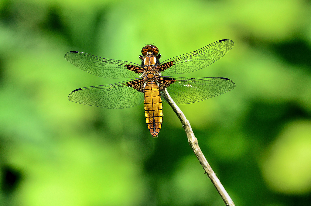 broad bodied chaser by captain birdseye in Member Albums