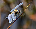 four spotted chaser by captain birdseye in Member Albums