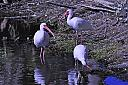 Ibis At Mealtime by jrg652 in Member Albums