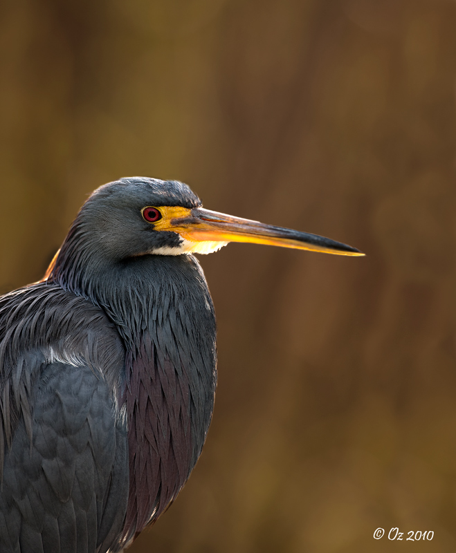 feb272010-shark-valley-posing-tri-colored-heron by Oz1 in Birds and Wildlife