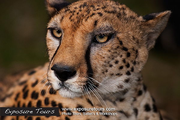 cheetah portrait  by bryanpereira in Member Albums