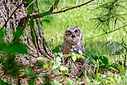 Great Horned Owlets by Friggs in Member Albums
