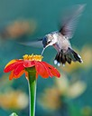 Ruby-throated Hummingbird by Friggs in Member Albums
