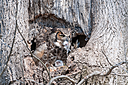 Great horned owl with babies by Friggs in Member Albums