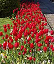 Tulips by Auntiechick
