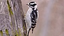 Downie Woodpecker by Redtail55 in Redtail55 Photos