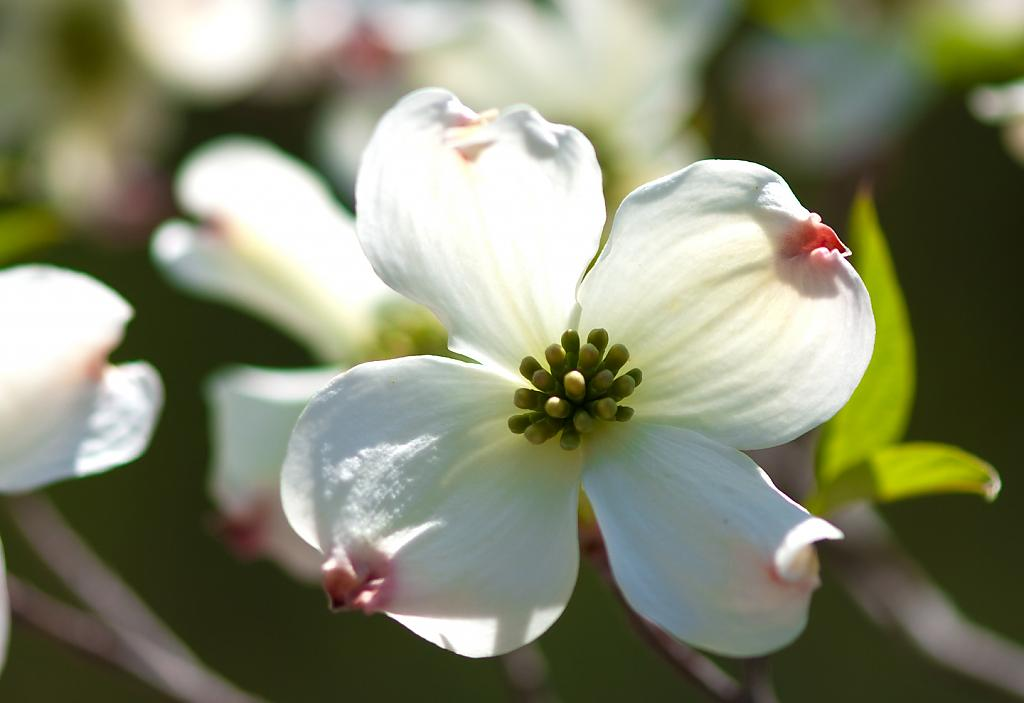 Dogwood Blossom by Mike150 in Member Albums