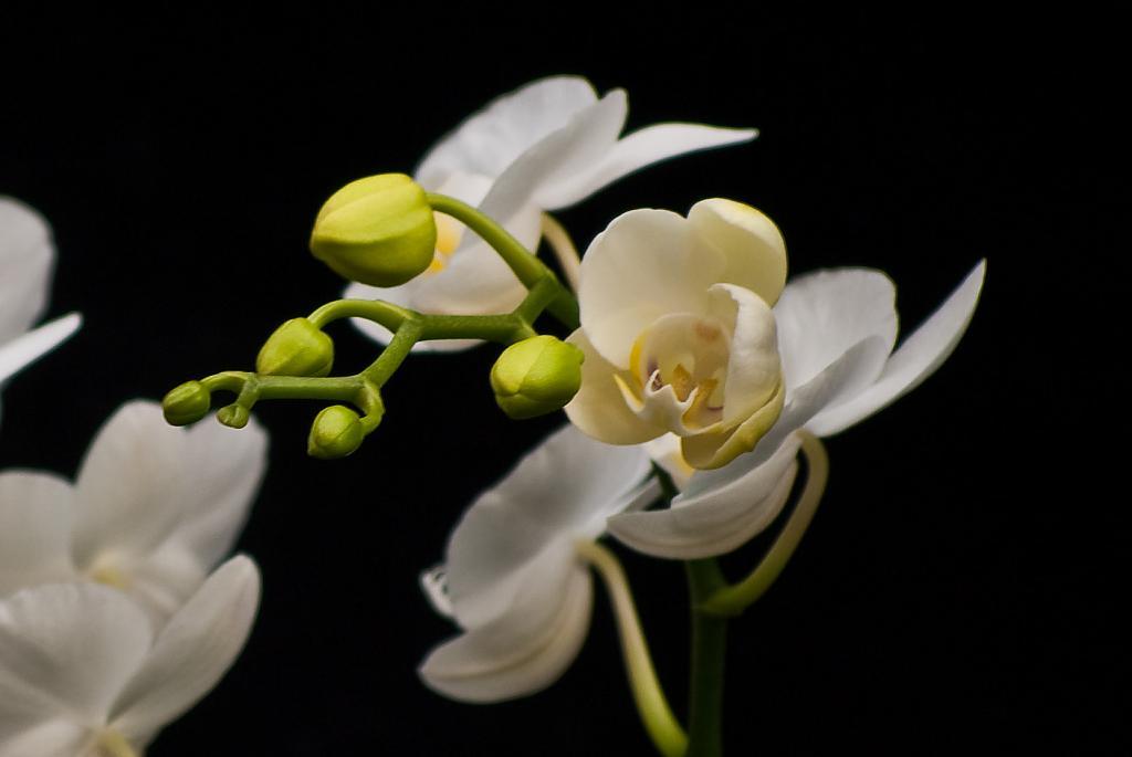 orchid-3l by Mike150 in Member Albums